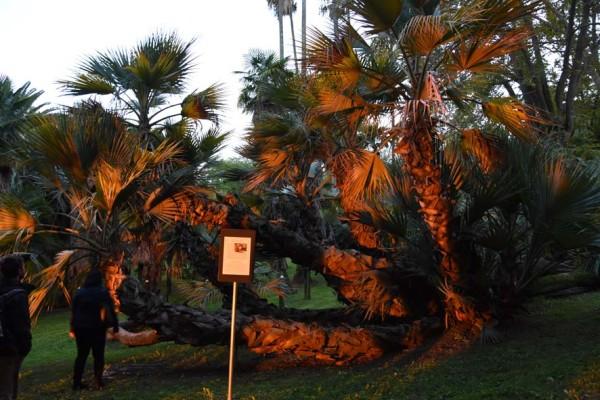 Рис. 4. Уникальный экземпляр пальмы Nannorrchops ritchieana, возраст которого оценивается не менее 200-250 лет.