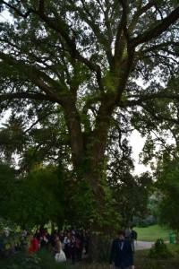 Рис. 6. Уникальнй экземпляр Quercus suber, возраст которого примерно тысяча лет.