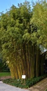 Рис. 7. Один из видов бамбука в коллекции Сада.
