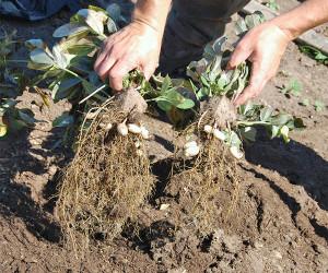 Выращиваем арахис на даче и дома