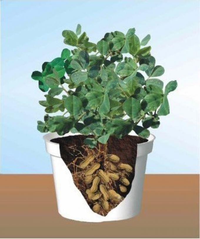 Как растёт арахис пошаговое фото