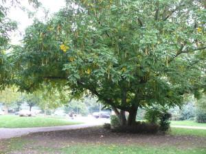 Купить семена, растение – Лапина крылоплодная, или Птерокария (Pterocarya pterocarpa)