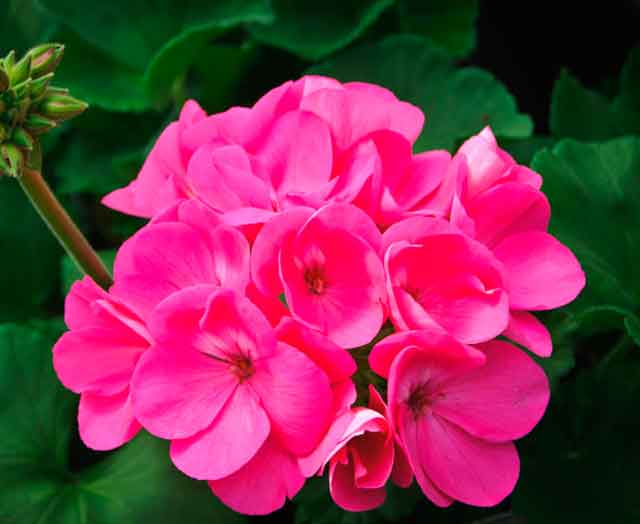 Купить семена, растение – Пеларгония розовая (Pelargonium)