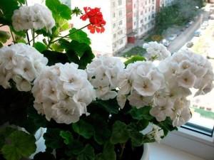 Купить семена, растение – Пеларгония белая (Pelargonium)