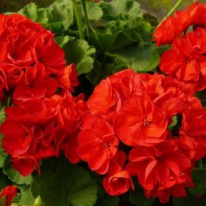 Купить семена, растение – Пеларгония красная (Pelargonium)