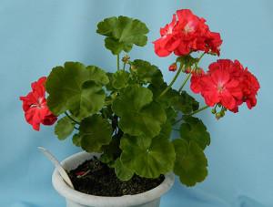 Купить семена, растение – Пеларгония красная с белым (Pelargonium)