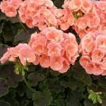 Купить семена, растение – Пеларгония кремово-розовая (Pelargonium)