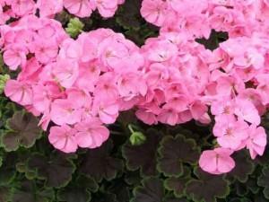 Купить семена, растение – Пеларгония светло-розовая (Pelargonium)