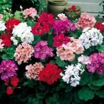 Купить семена, растение – Пеларгония смесь (Pelargonium)