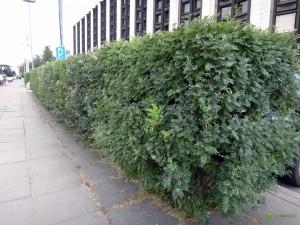 Купить семена, растение – Карагана древовидная, Жёлтая акация (Caragana arborescens)