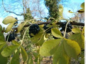 Купить семена, растение – Элеутерококк колючий (Eleutherococcus senticosus)