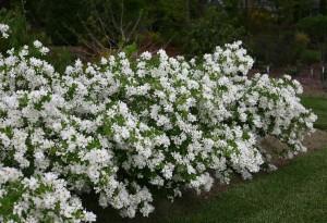 Купить семена, растение – Экзохорда Королькова (Exochorda korolkowii)