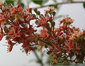 Купить семена, растение – Лавсония, хна (Lawsonia inermis)