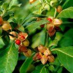 Купить семена, растение – Витания усыпляющая, Ашваганда (Withania somnifera)