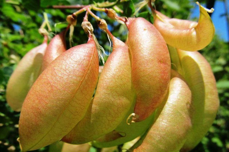 Купить семена, растение – Пузырник древовидный, Пузырное дерево (Colutea arborescens)