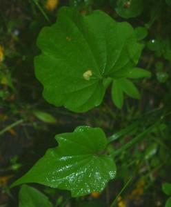 Купить семена, растение – Диоскорея ниппонская  (Dioscorea nipponica)