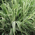 Купить семена, растение – Фаларис Feesey, Двукисточник тростниковый (Phalaris arundinacea)