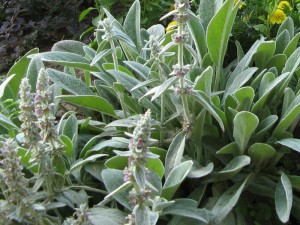 Купить семена, растение – Чистец Овечьи ушки (Stachys byzantina)