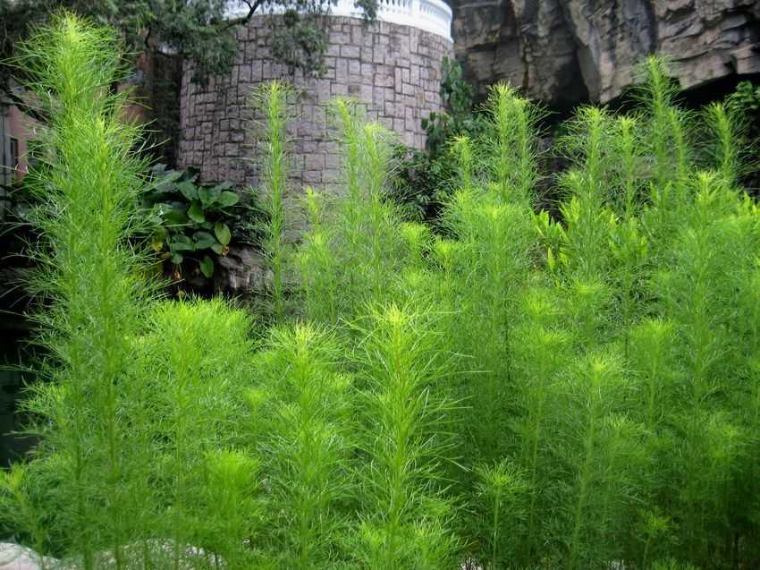 Купить семена, растение – Полынь лимонная, или Полынь лечебная (Artemisia abrotanum)