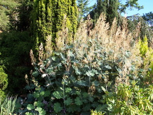 Купить семена, растение – Маклейя сердцевидная (Macleaya cordata)
