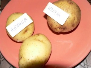 Купить семена, растение – Картофель Аусония (Solanum tuberosum)