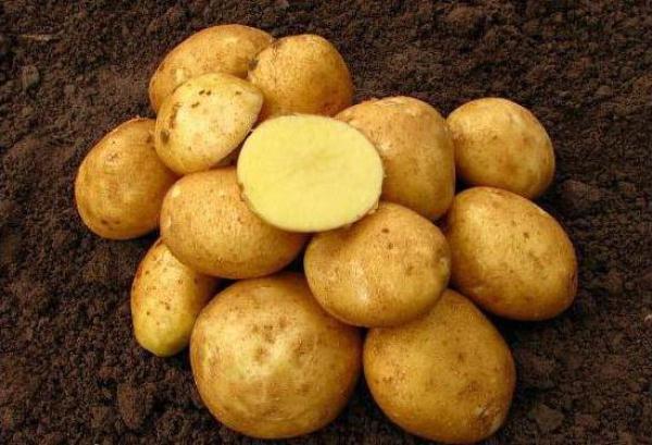 Купить семена, растение – Картофель Колобок (Solanum tuberosum)