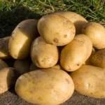 Купить семена, растение – Картофель Реванш (Solanum tuberosum)