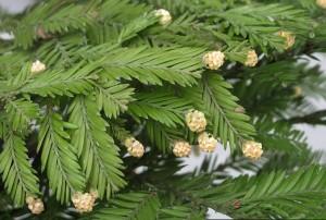 Купить семена, растение – Секвойя Вечнозеленая, красная (Sequoia sempervirens)