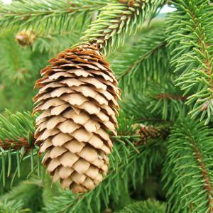 Купить семена, растение – Ель обыкновенная, или Ель европейская (Picea abies)