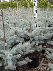 Купить семена, растение – Ель голубая, колючая (Picea pungens)