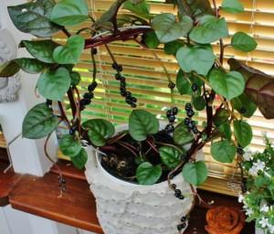 Купить семена, растение – Базела белая, разнов. красная  (Basella alba var. Rubra)