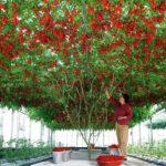 Купить семена, растение – Цифомандра, Тамарилло (Cyphomandra betacea)
