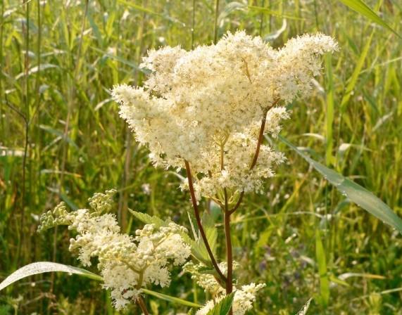 Купить семена, растение – Лабазник, или Таволга (Filipendula)