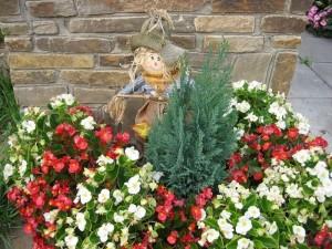 Купить семена, растение – Бегония вечноцветущая розовая F1