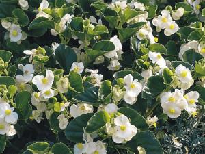 Купить семена, растение – Бегония вечноцветущая белая F1