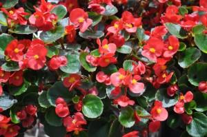 Купить семена, растение – Бегония вечноцветущая красная F1