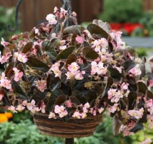 Купить семена, растение – Бегония вечноцветущая Nachod F1