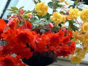 Купить семена, растение – Бегония ампельная белая