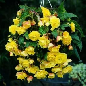 Купить семена, растение – Бегония ампельная желтая