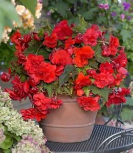 Купить семена, растение – Бегония ампельная красная