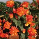 Купить семена, растение – Бегония ампельная оранжевая