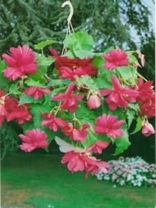 Купить семена, растение – Бегония ампельная розовая