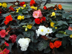 Купить семена, растение – Бегония клубневая крупноцветковая Камелия (белая)
