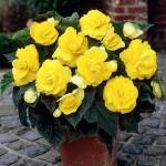 Купить семена, растение – Бегония клубневая крупноцветковая Камелия (желтая)