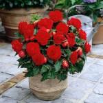 Купить семена, растение – Бегония клубневая крупноцветковая Камелия (красная)