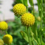 Купить семена, растение – Цефалофора, Земляничная трава (Cephalophora aromatica)