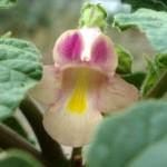 Купить семена, растение – Пробосцидея мелкоцветковая (Proboscidea parviflora)