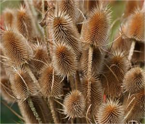 Купить семена, растение – Ворсянка посевная (Dipsacus sativus)