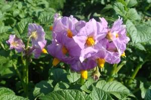 Надо ли обрывать цветы у картофеля или нет