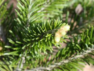 Купить семена, растение – Пихта сибирская (Abies sibirica)